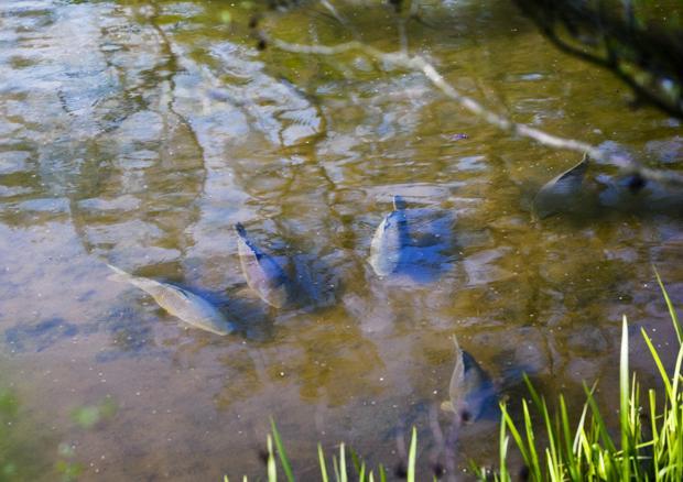 Весной карп кормится на мелководье, где вода более теплая