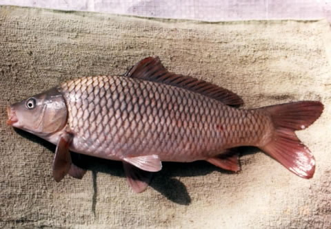 Сазан амурский (Cyprinus carpio haematopterus)