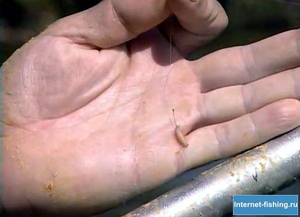 Опарыш - приманка для ловли уклейки