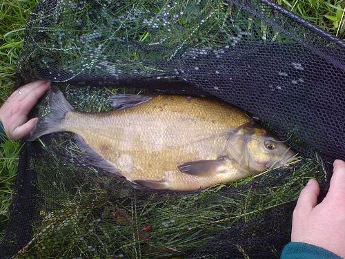 При ловле леща на реке без надежного подсачека не обойтись