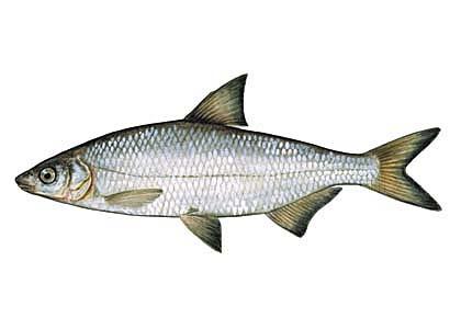 Рыбец, сырть, вимба (Vimba vimba). Иллюстрация