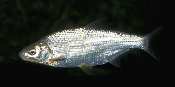 Рыбец под водой